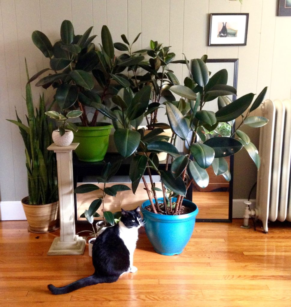 breathtaking rubber plant safe for cats ideas best