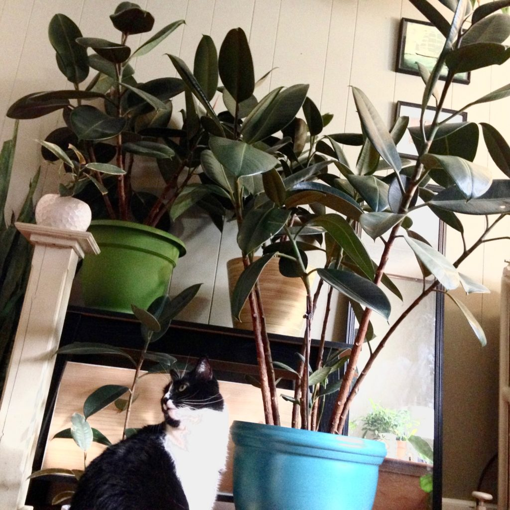 Ficus elastic / Rubber Tree
