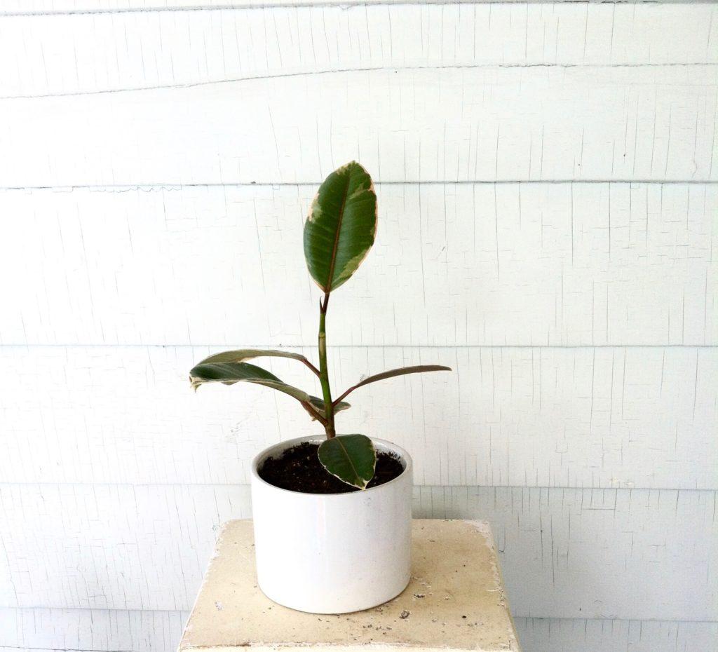 Propagated Ficus Elastica
