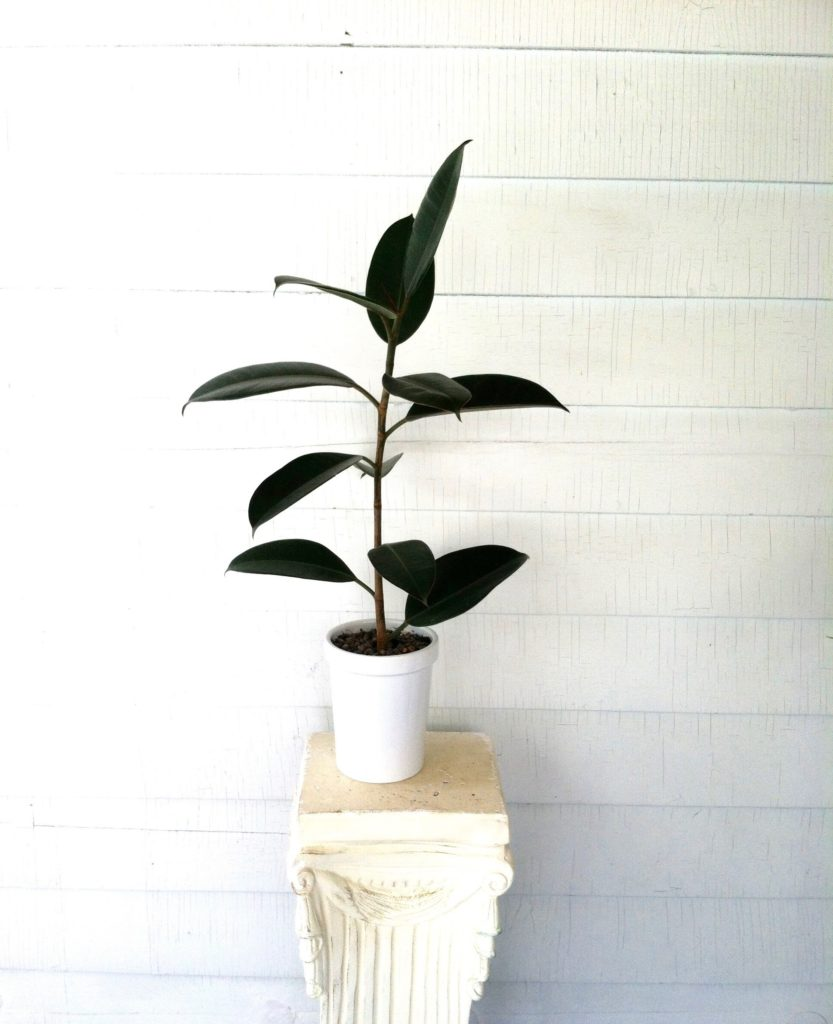 Rubber Tree Ficus Elastica