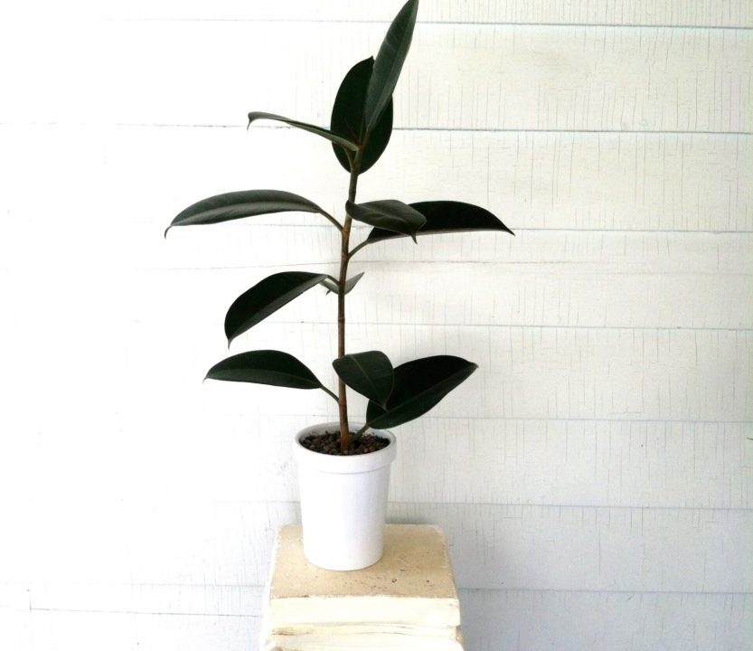 Plant Portrait: The Rubber Tree