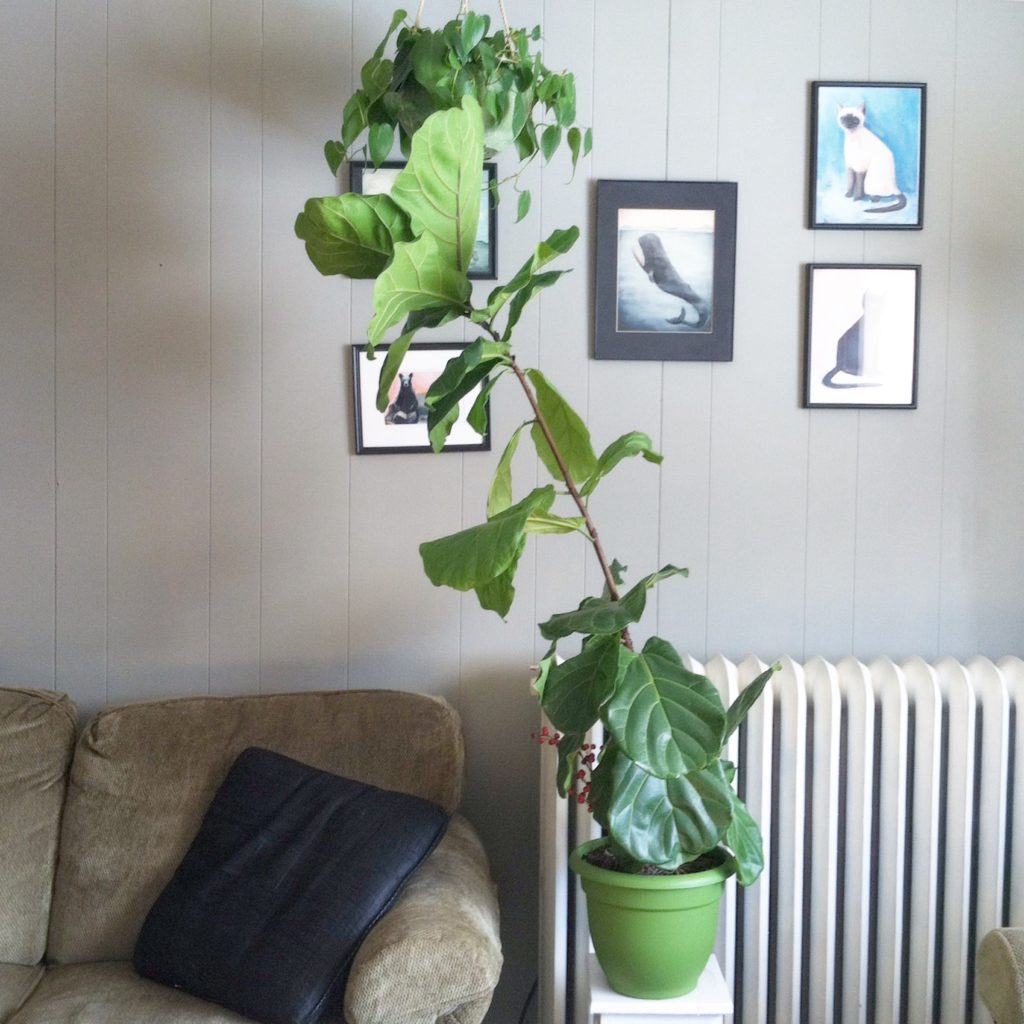 Fiddle Leaf Fig Goals