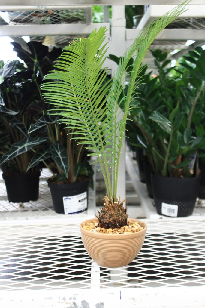 5 Poisonous Plants to Pets - Sago Palm