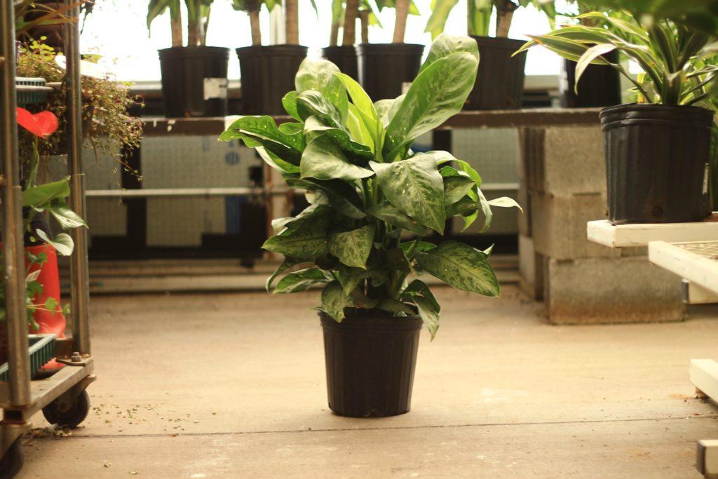Dieffenbachia - Toxic Plants to Pets