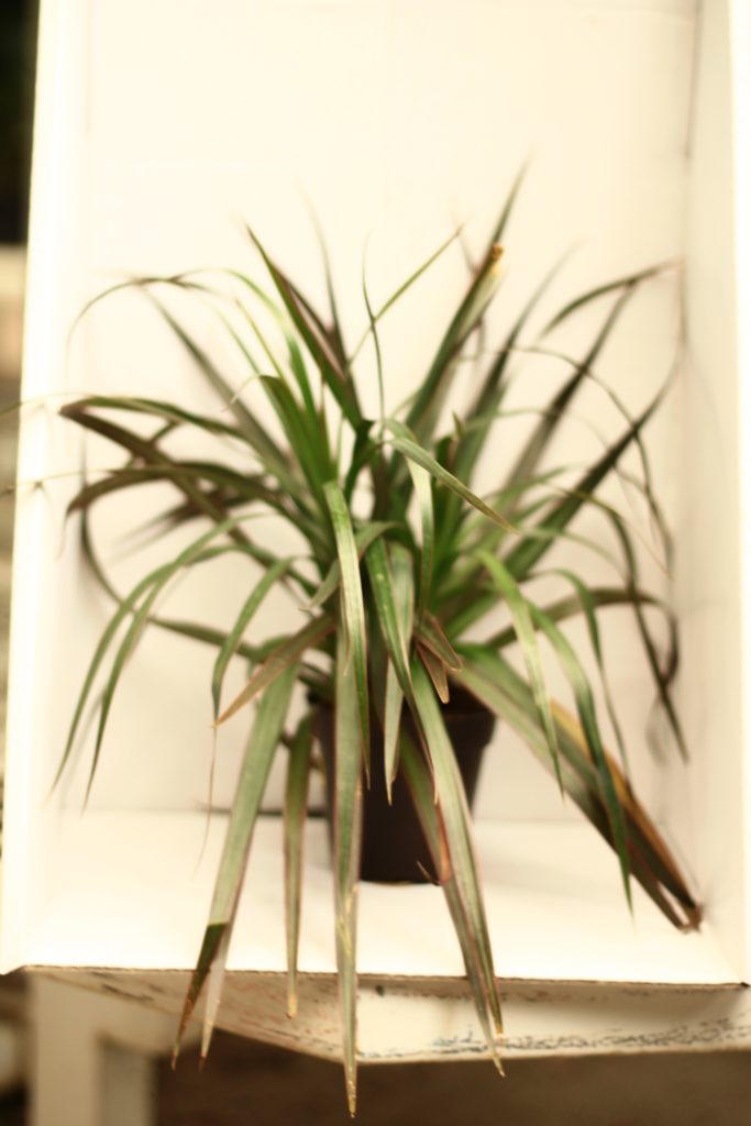 Toxic plants to pets - Dracaena