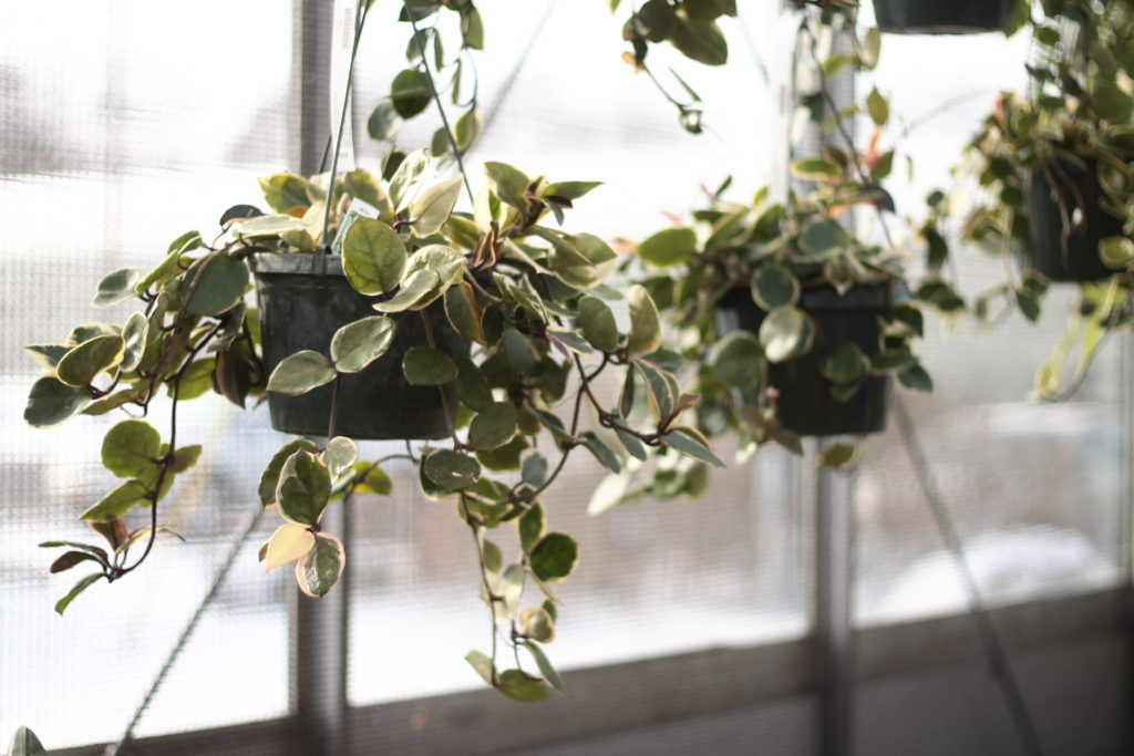 Hoya: Pet Safe Houseplants