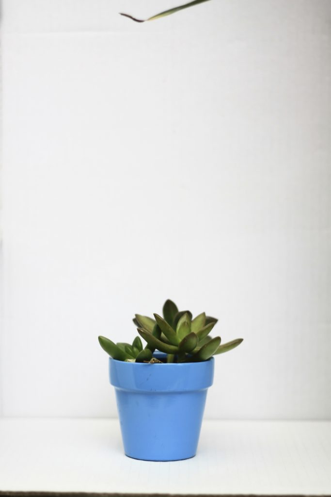 Succulents - Pet safe houseplants