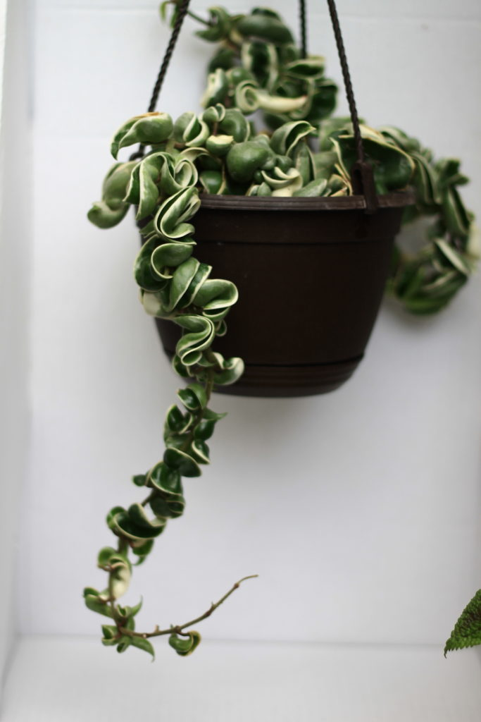Hoya :: 5 Minimalist Indoor Plants Safe for Pets