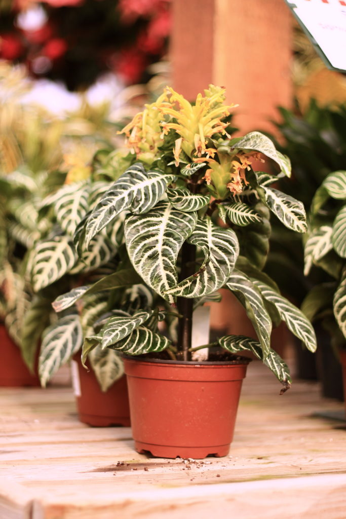 Zebra Plant :: 5 Minimalist Indoor Plants Safe for Pets