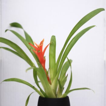 Bromeliad :: 5 Minimalist Indoor Plants Safe for Pets