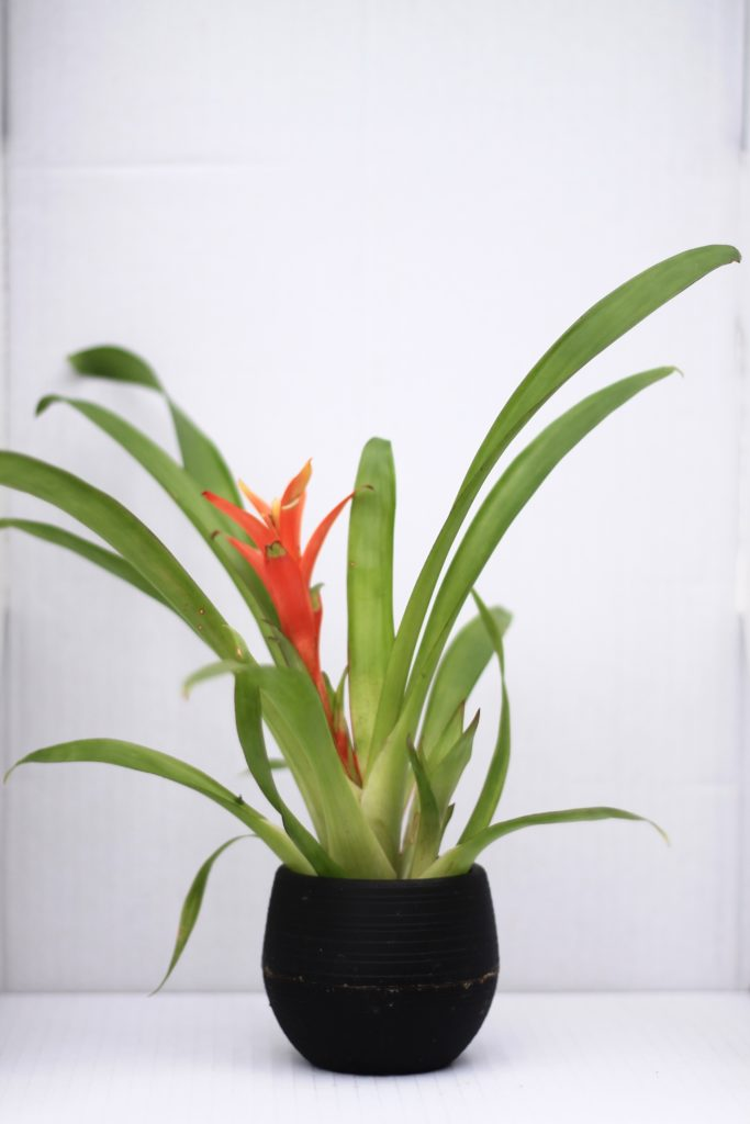 Bromeliad :: 5 Minimalist Indoor Plants Safe for Pets