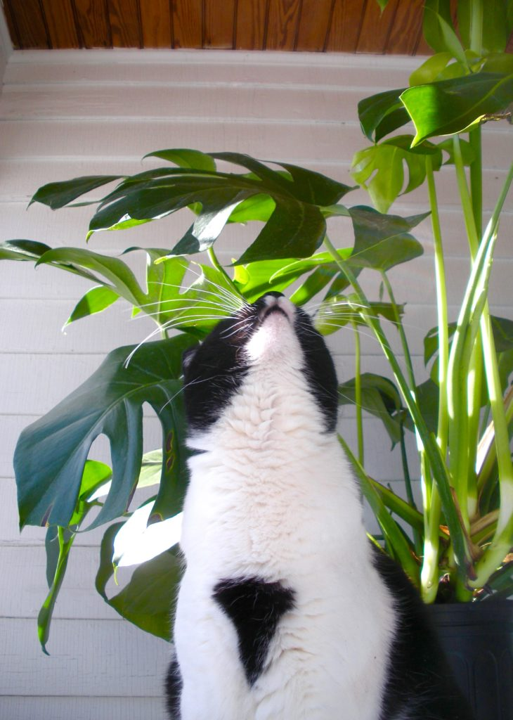 peachy house plants that are safe for cats. monstera deliciosa Plant Portrait  Monstera Deliciosa Leaf and Paw