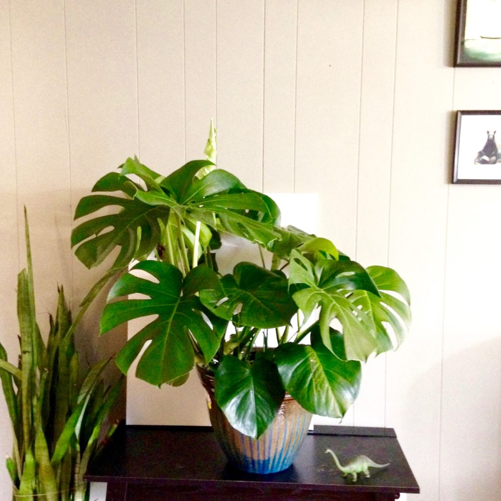 peachy house plants that are safe for cats. Monstera Deliciosa Plant Portrait  Leaf and Paw