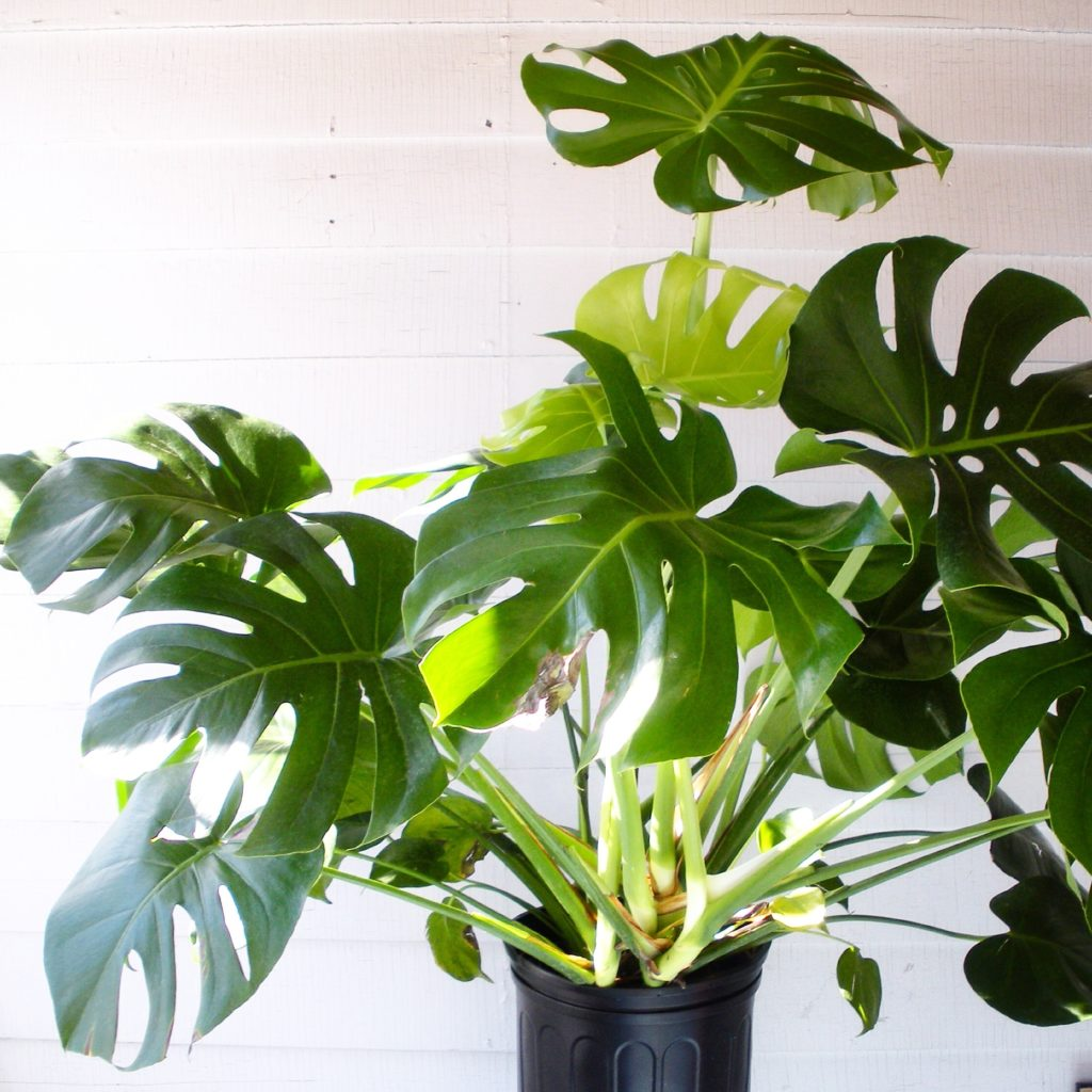 peachy house plants that are safe for cats. Monstera Deliciosa  leaf and paw Plant Portrait Leaf Paw