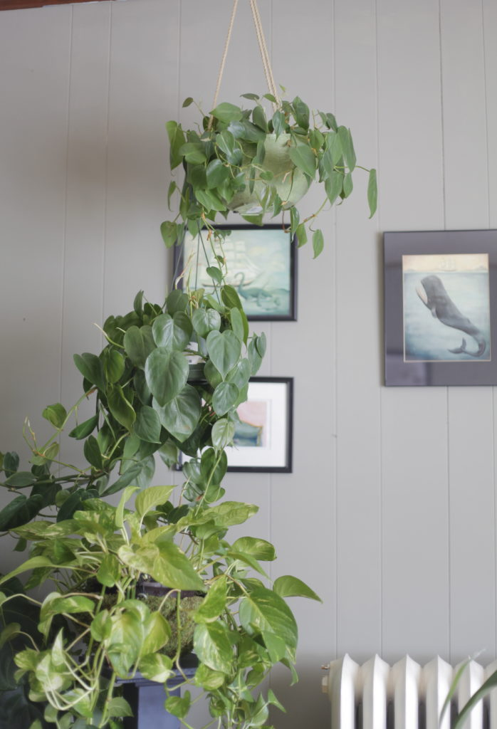 Hanging Philodendron in Urban Jungle