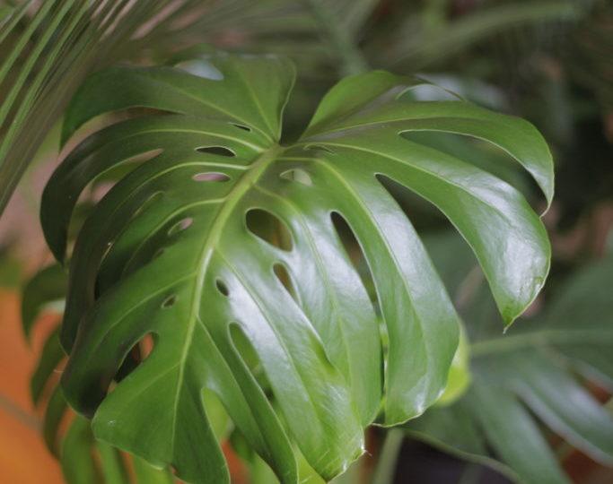 Plant Portrait: Monstera Deliciosa