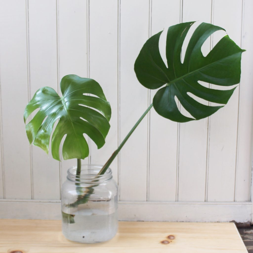 Monstera, propagated.