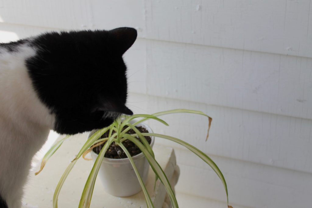 Spider Plant : Pet Safe Plants