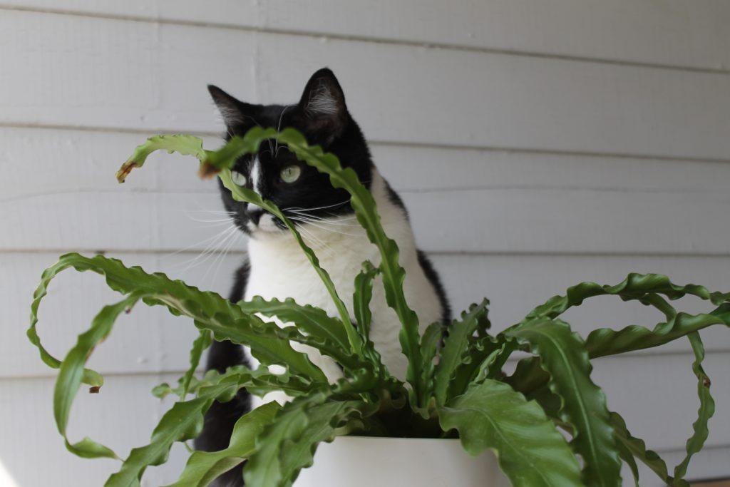 Fern : Pet Safe Houseplants