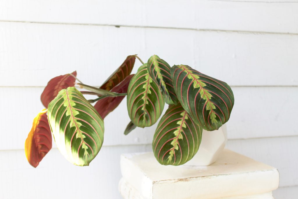 Maranta - Plants Safe for Cats!