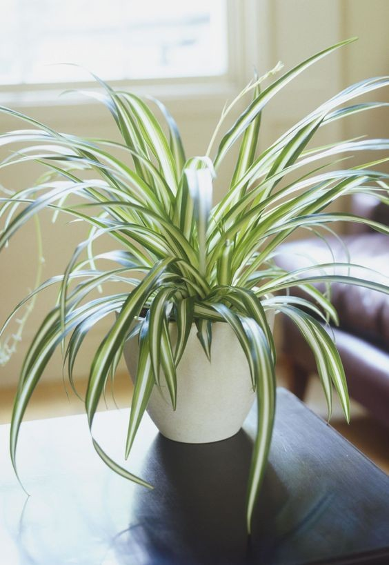 Spider Plants - Plants Safe for Cats!
