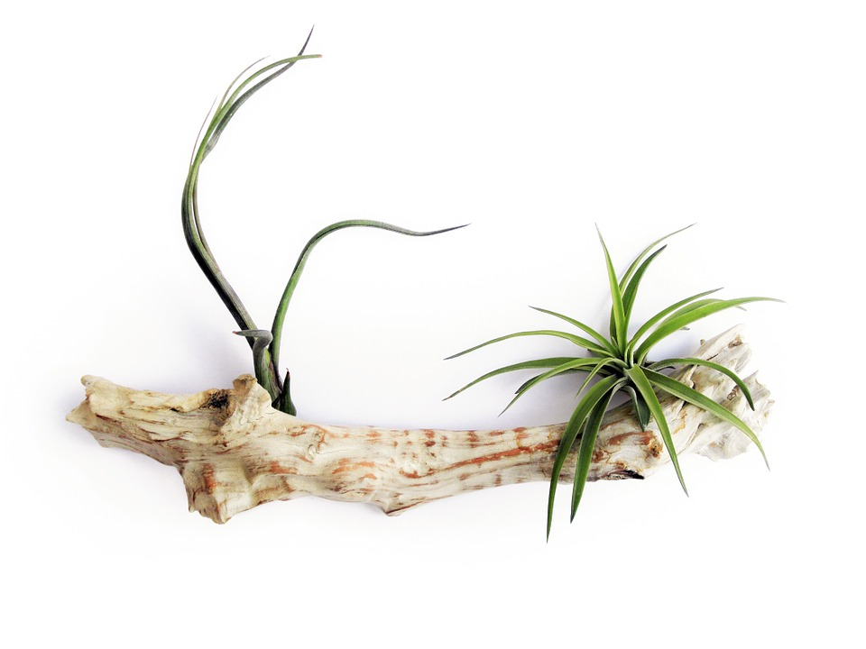 Air Plants : Pet Safe Houseplants