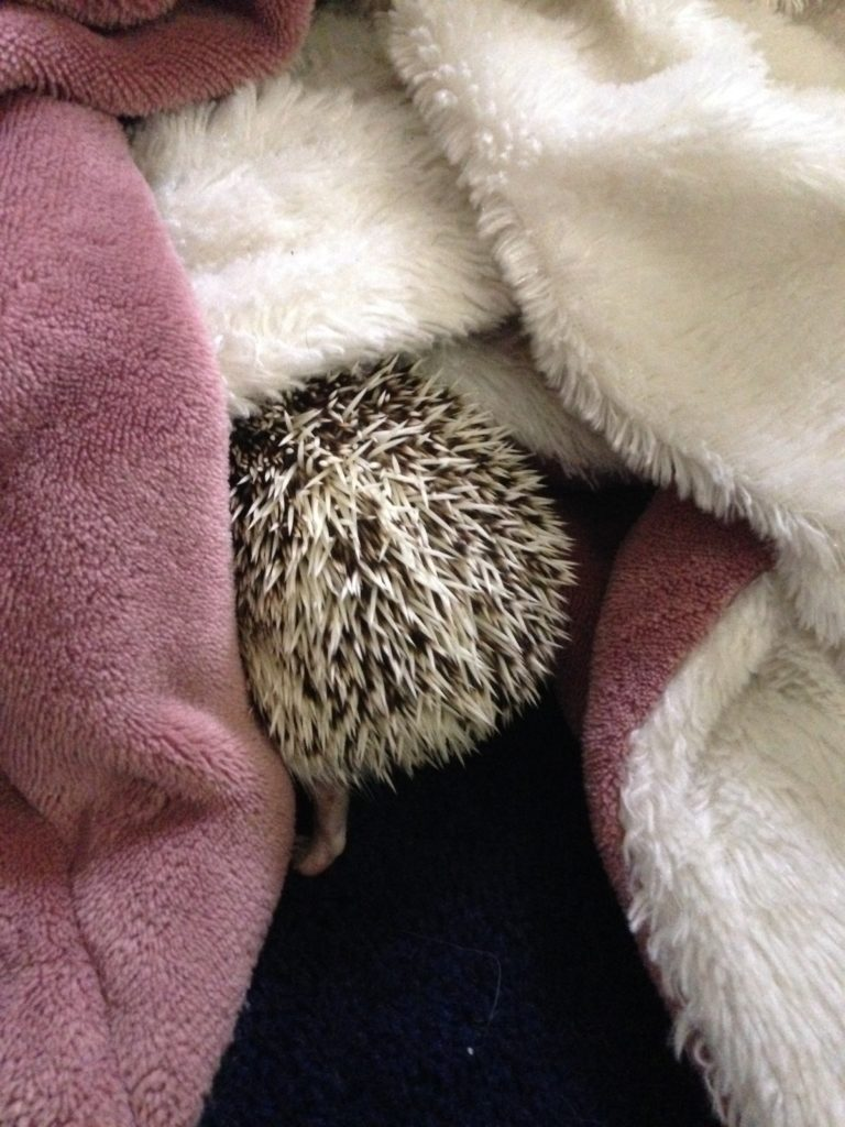 Henrietta the Hedgehog