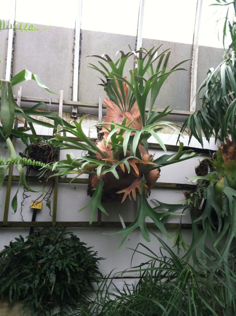 Staghorn Fern: Leaf and Paw