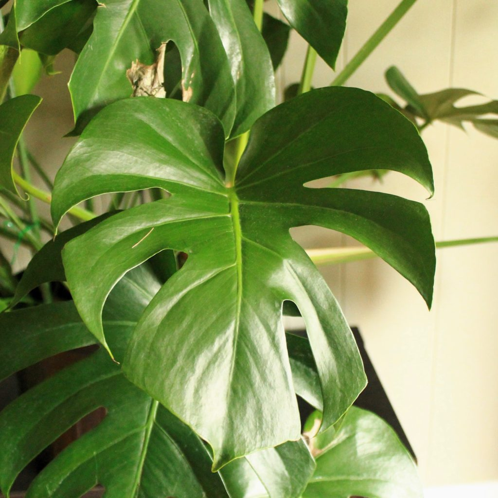 Monstera Pet Safe