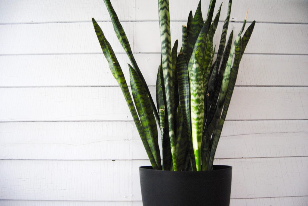 Snake Plant // Leaf and Paw