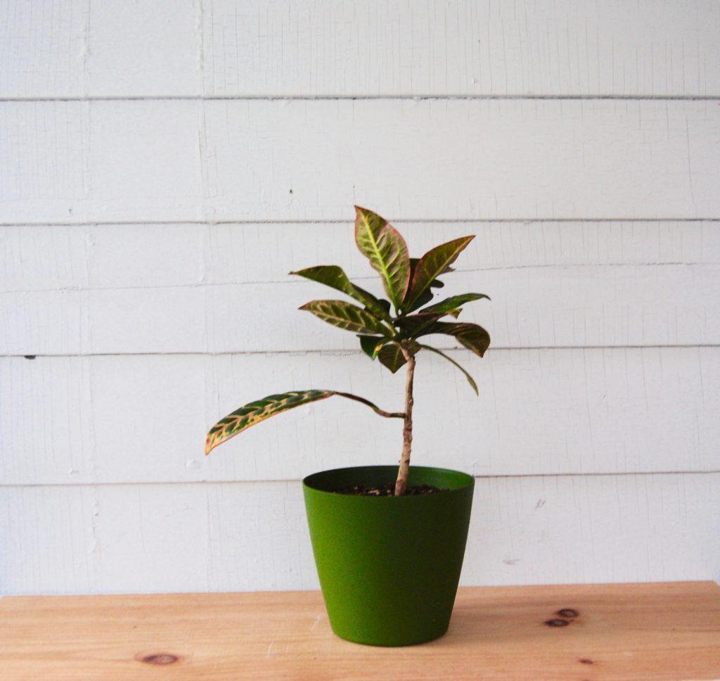 Croton : Toxic plants to pets