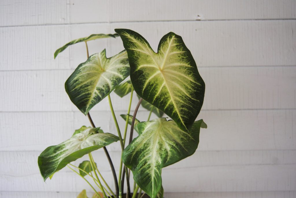 Caladium - Toxic Plants for Pets