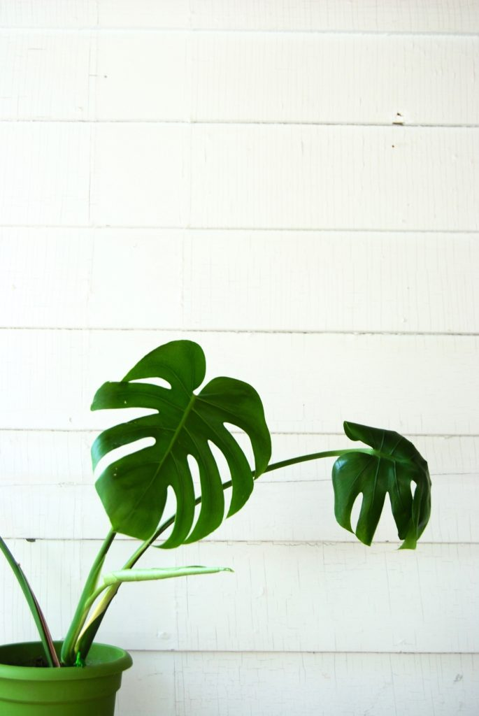 Monstera // toxic to pets