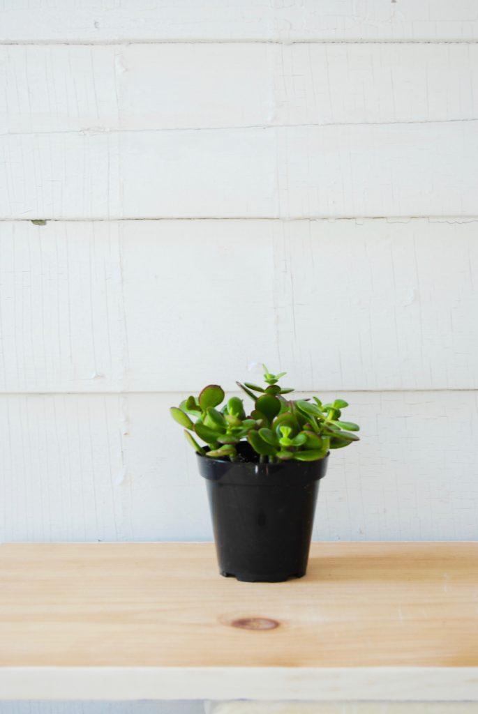 Jade Plant // Leaf and Paw