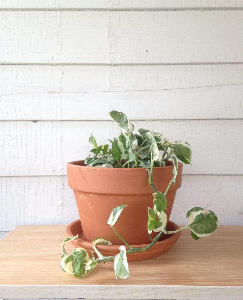 Variegated Pothos - Toxic to pets