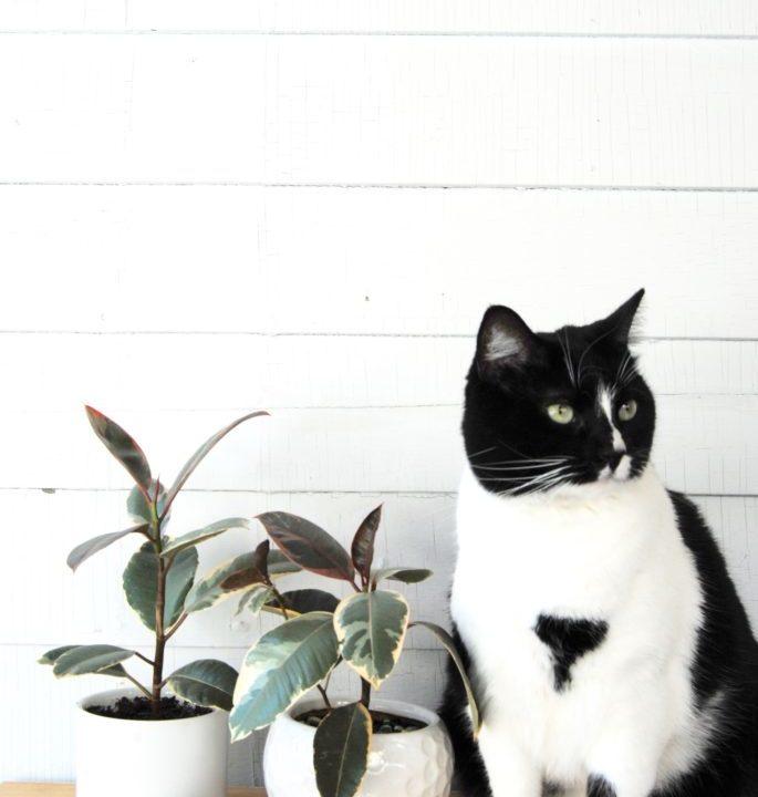 Plant Portrait: Variegated Rubber Plant