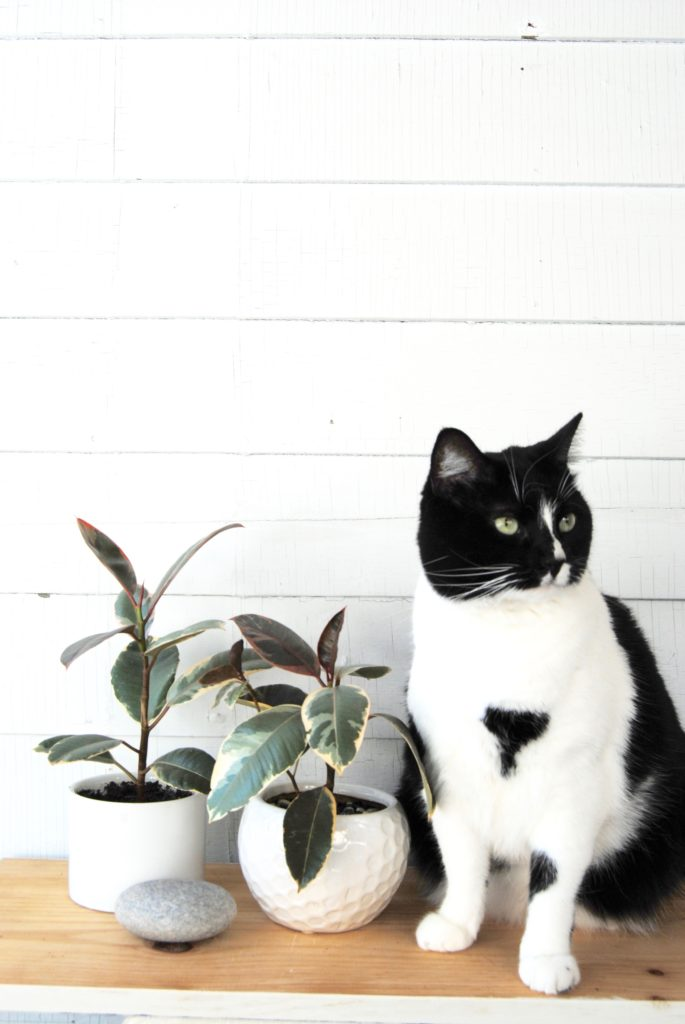 Variegated Rubber Tree and Cat