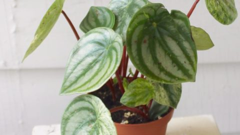 Peperomia Party: A Guide to Peperomia