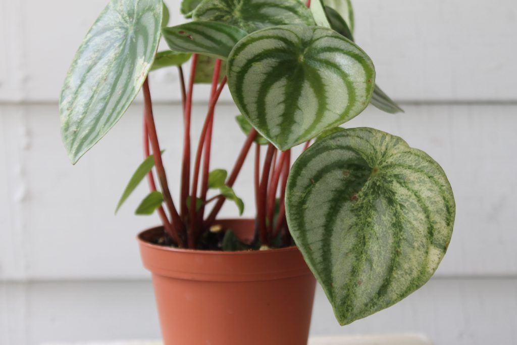 Pet Safe Peperomia : Leaf&Paw