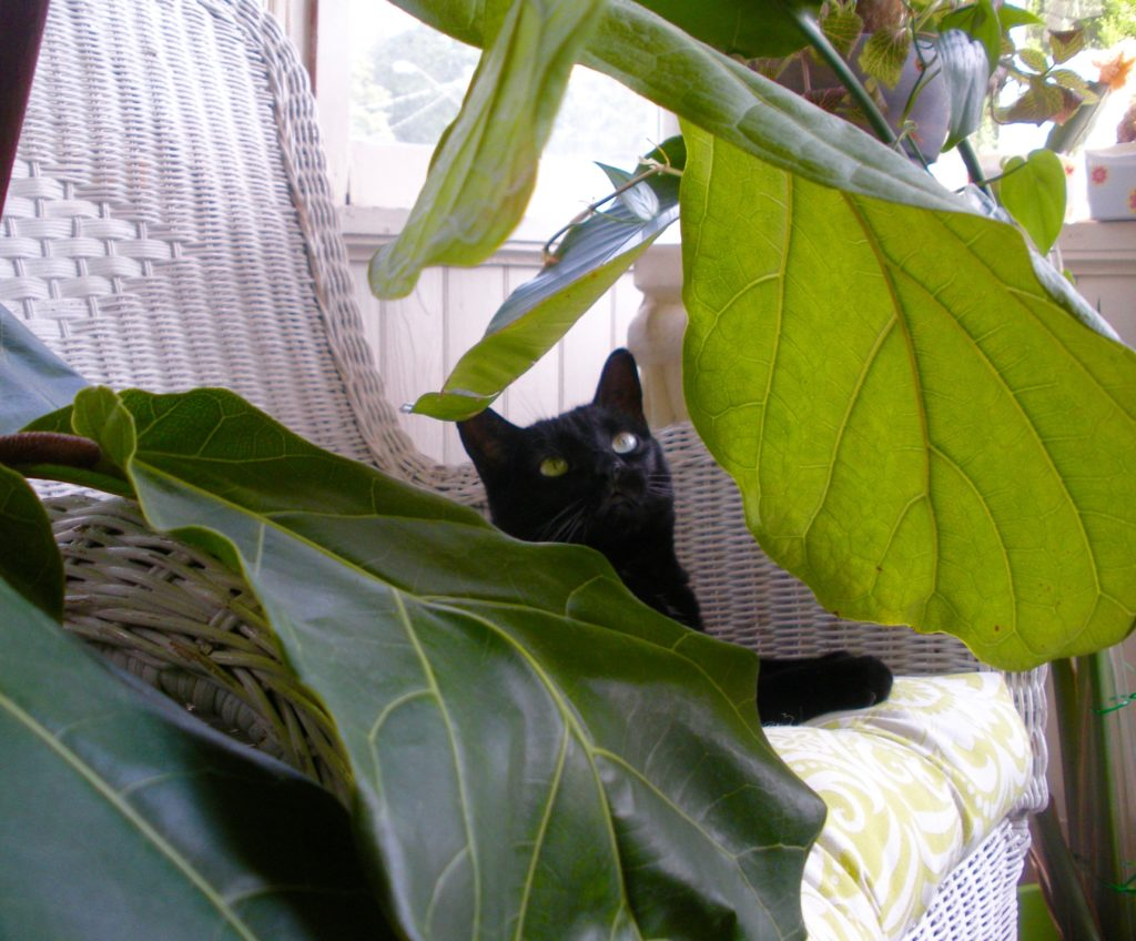 Are Fiddle Leaf Figs safe for pets?