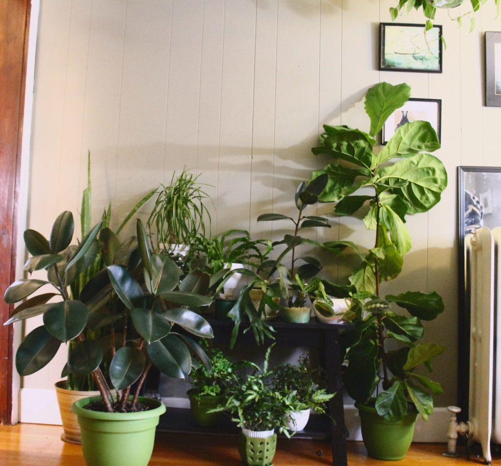 Fiddle Leaf Fig Care : Leaf & Paw