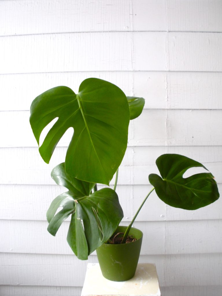 Plant Portrait: Monstera Deliciosa | Leaf and Paw on