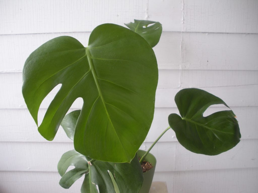Monstera: breeding and care 81