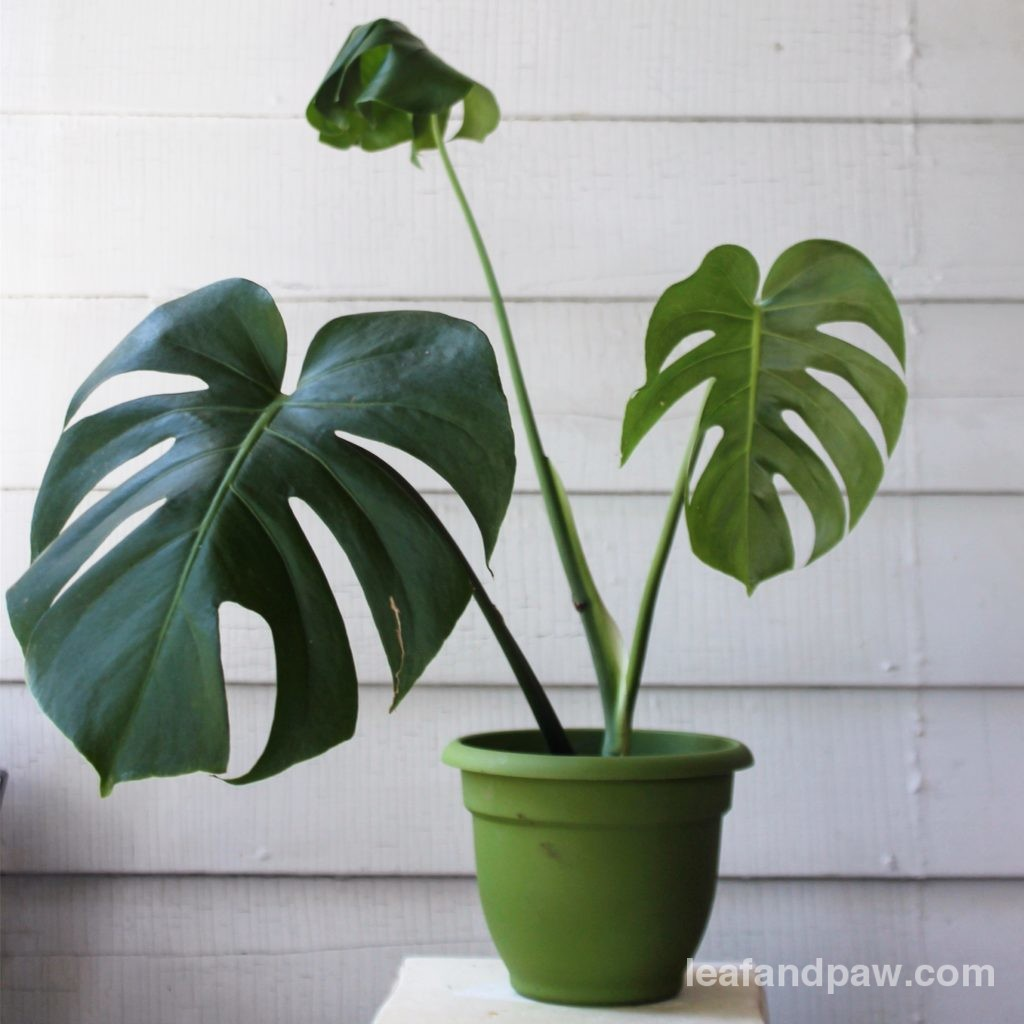 How To: Propagate a Monstera Deliciosa | Leaf and Paw