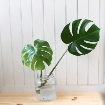 How to Propagate Your Monstera :: Leaf and Paw
