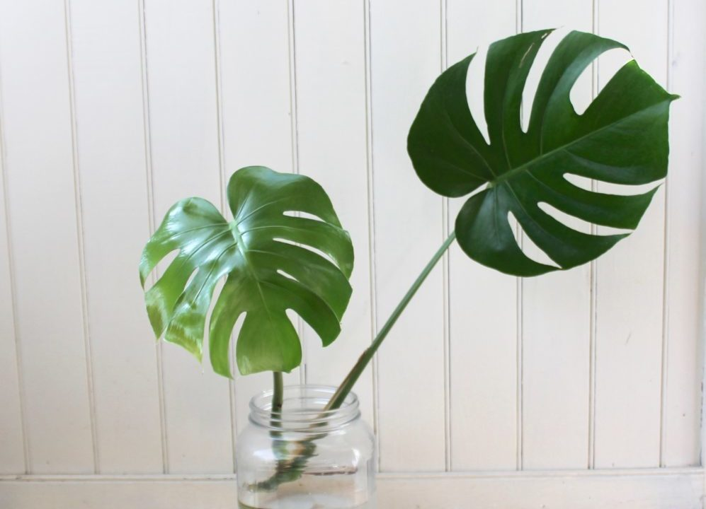 How To: Propagate a Monstera Deliciosa