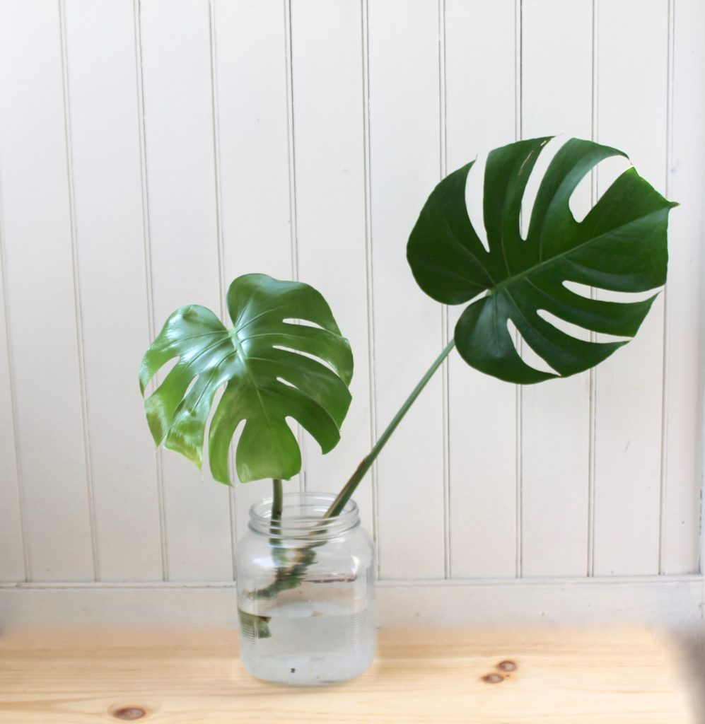 How To Propagate A Monstera Deliciosa Leaf And Paw