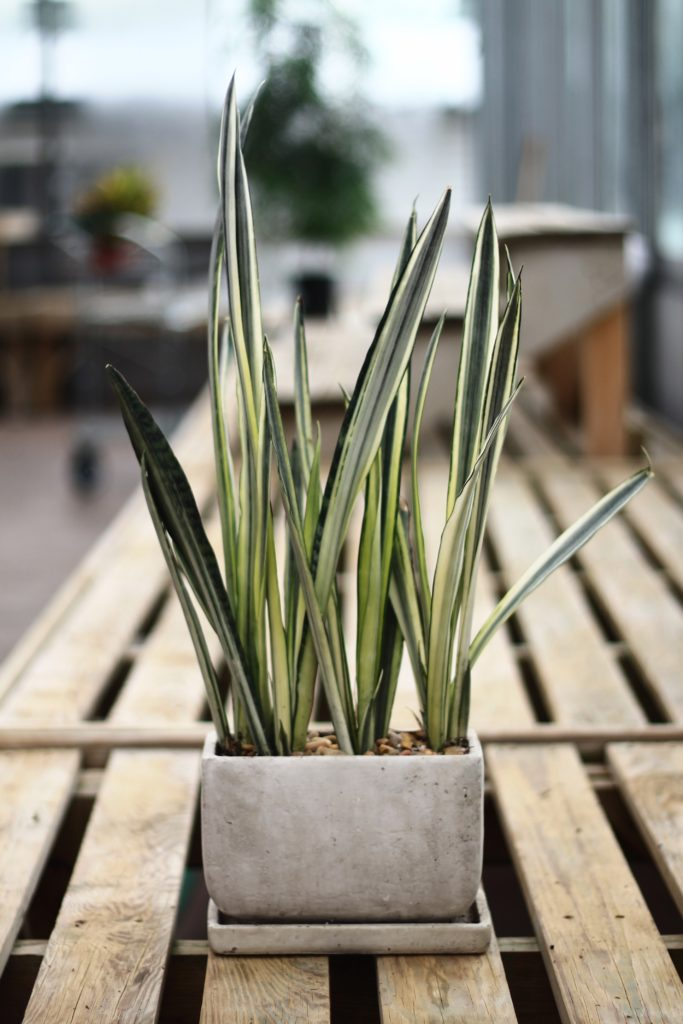 Are Sansevieria toxic to pets :: leafandpaw