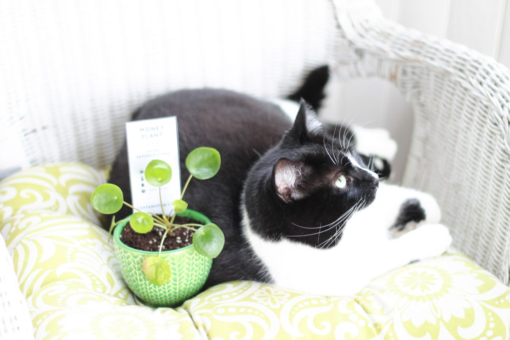 Are Pilea Peperomioides Safe For Pets?