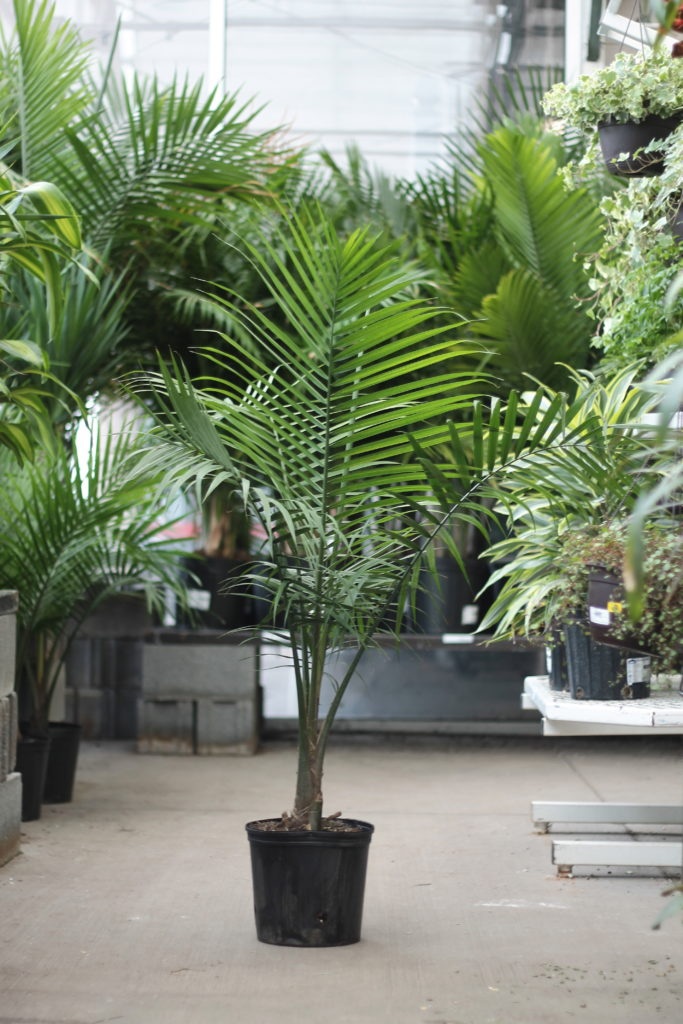 Palms - Pet Safe Plants